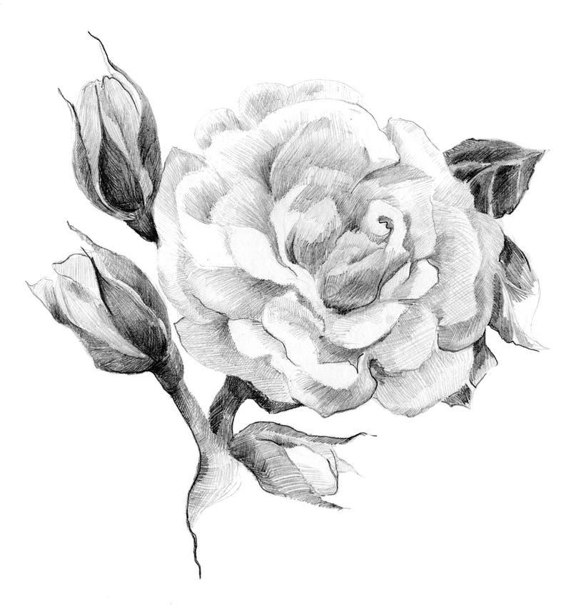 Эскиз цветка розовый