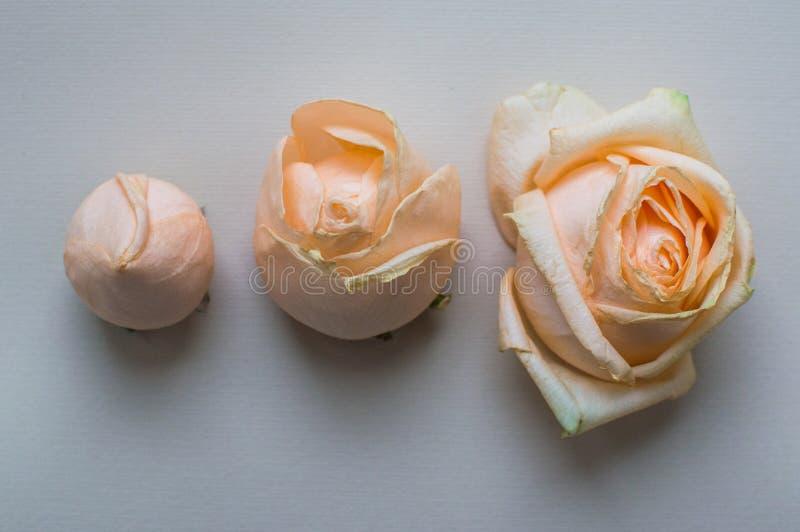 3 этапа цветя розового flover Концепция жизни, отношений влюбленность, здоровье, приятельство стоковые фотографии rf