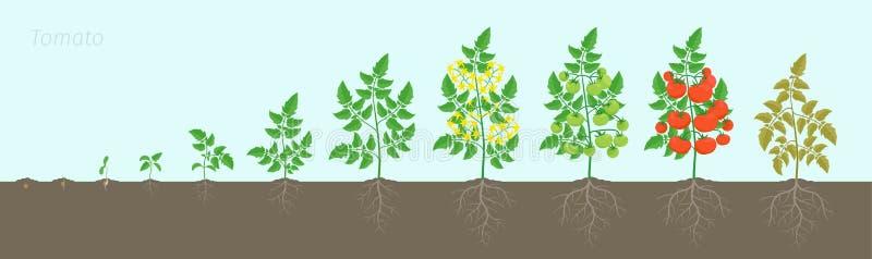 Этапы роста завода томата Зрея период Сбор куста томатов на предпосылке почвы Система корня иллюстрация штока