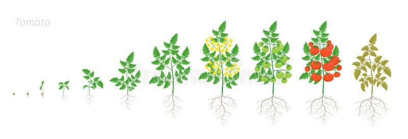 Этапы роста завода томата Lycopersicum Solanum Зрея период Жизненный цикл парников корня сбора куста томатов иллюстрация штока