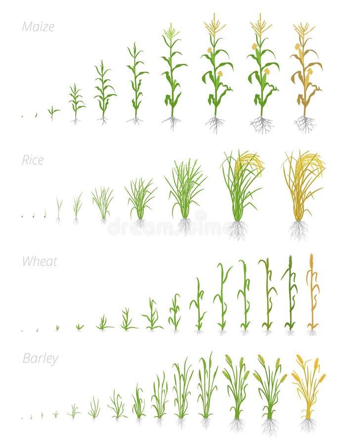 Этапы роста урожаев хлопьев зерна аграрных Участки роста хлопьев r Cereale Secale Зрея период иллюстрация вектора