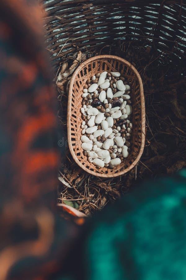 Этапы урожая белой фасоли: сухой неоткрытый урожай с готовыми сухими фасолями такого же завода стоковое изображение rf