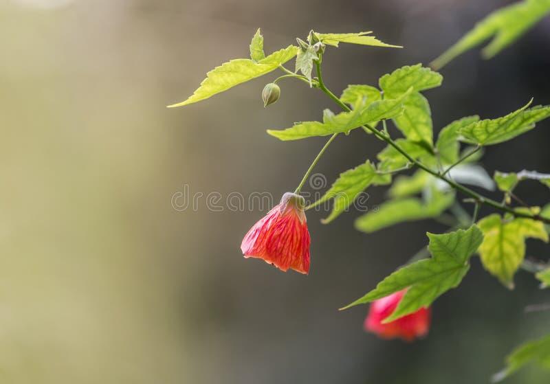 Этот красивый цветок обыкновенно известный как abutilon redvein, просвирник красной вены индийский, клен redvein цветя, китаец стоковые фотографии rf