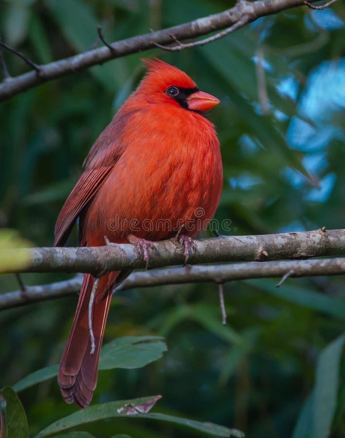 Мыжской северный кардинал стоковая фотография