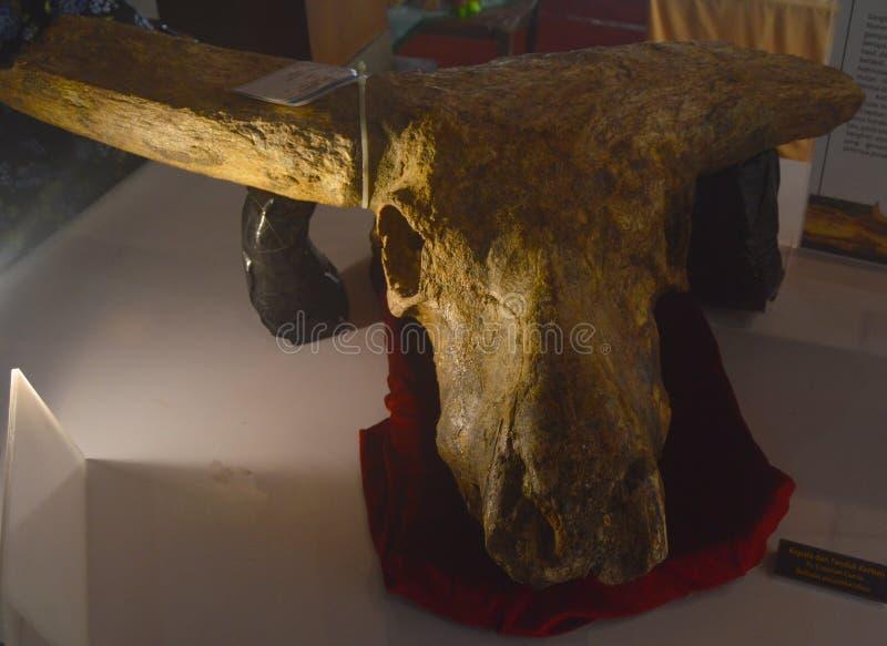 Этот старый буйвол прожил на месте Sangiran с предыдущей эры Plestocene 1.700.000 лет назад к последнему Plestocene стоковое фото