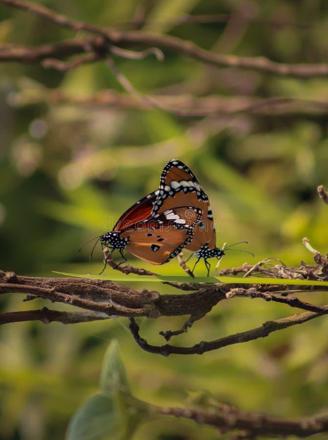 Это бабочка и бабочка кудели дальше совместно стоковое фото rf