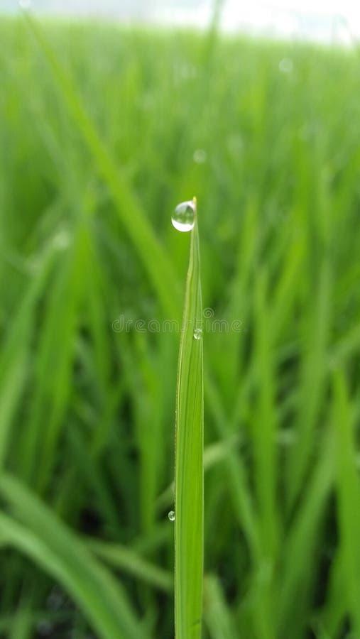 Это дерево риса от Бангладеша хорошего стоковая фотография rf