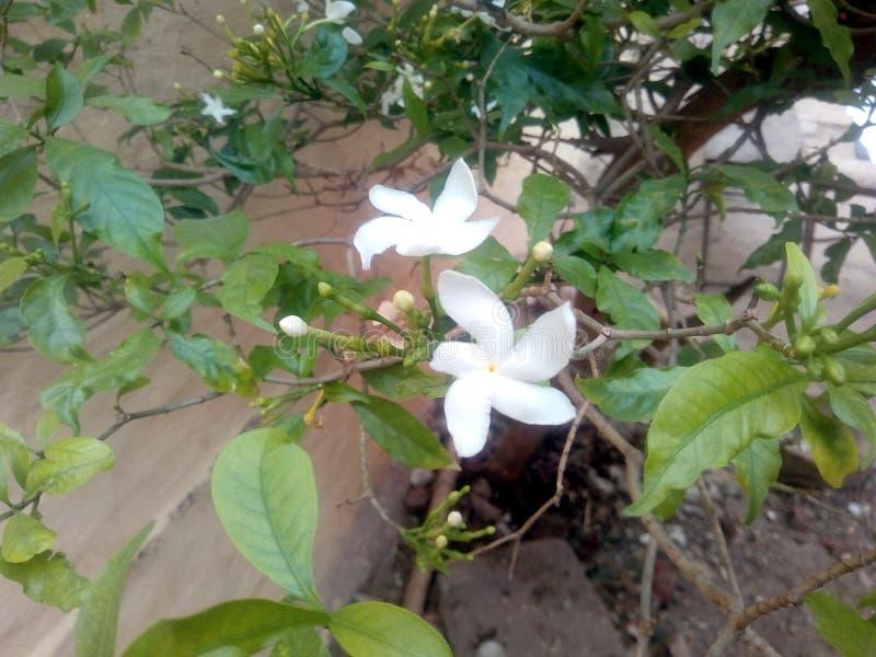 Это изображение белого цветка с зелеными листьями стоковые фотографии rf