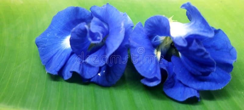 Это называется цветок Нила канты, цветок голубого цвета апараджита цветок азиатские голубые крылья цветок цветок цветок цветок цв стоковое фото rf