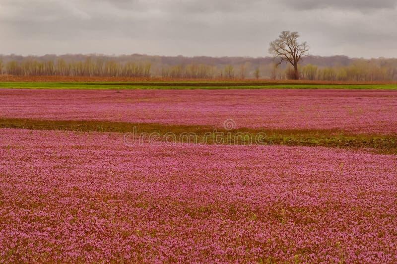 В--Розово стоковая фотография rf