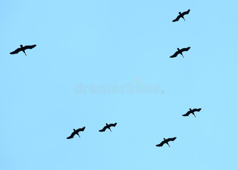Это эффектная птица собирающ я увидел летать над карибским морем стоковое изображение