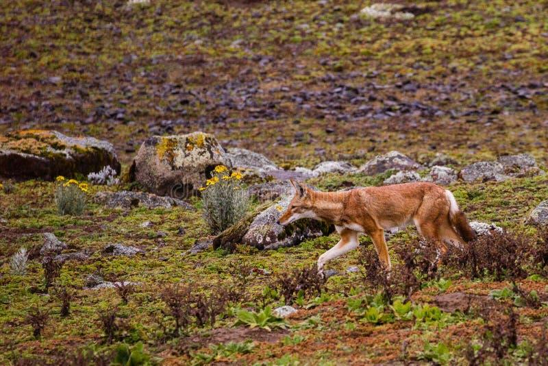 Эфиопское звероловство волка в национальном парке гор связки стоковое изображение