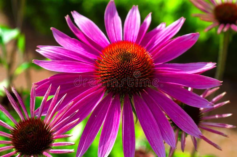 Эхинацея Цвести фиолетового стоцвета в лете Фиолетовое цветение с желт-красным центром стоковое изображение rf
