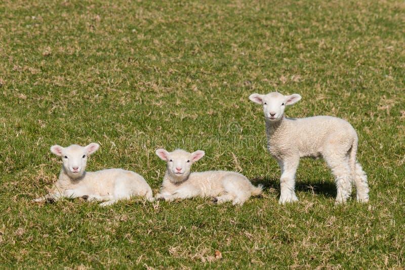 любознательние овечки стоковое фото