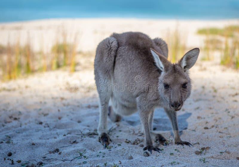 Ювенильный кенгуру на пляже в свете после полудня стоковые изображения rf