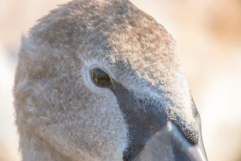 Ювенильный коричневый конец портрета лебедя вверх, olor Cygnus безмолвного лебедя стоковые фото