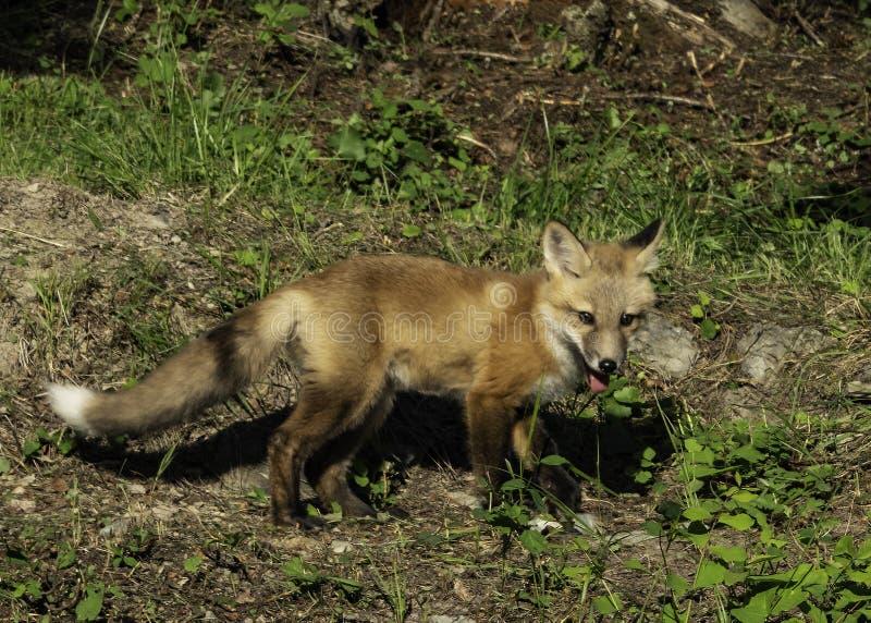 Ювенильный красный Fox в древесинах стоковая фотография rf