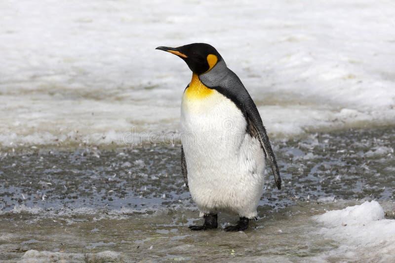 Ювенильный пингвин короля waddles в слякоти на равнине Солсбери на Южной Георгие стоковое изображение