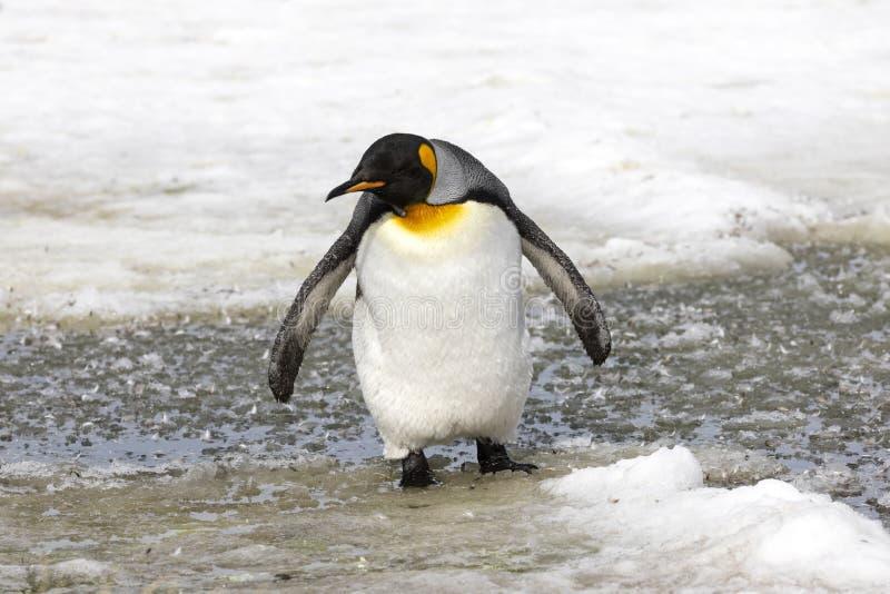Ювенильный пингвин короля waddles в слякоти на равнине Солсбери стоковое изображение