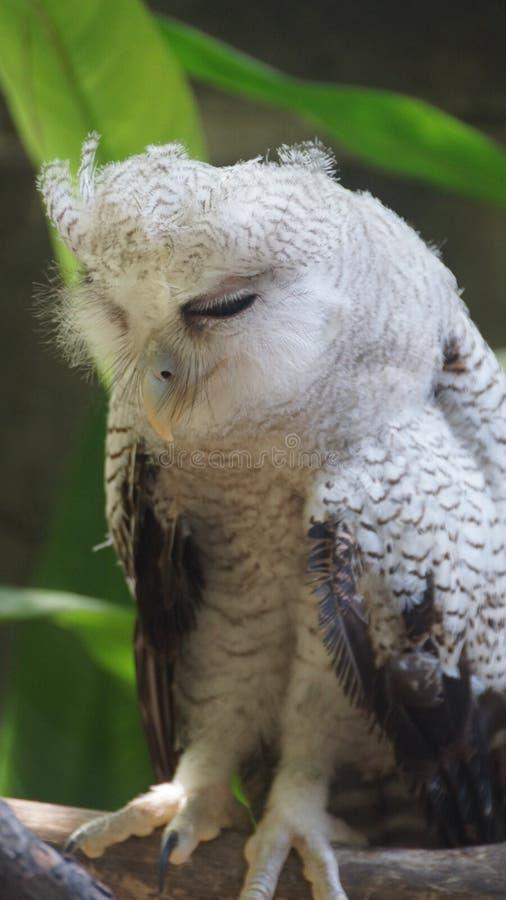 Ювенильный сыч - запертый орл-сыч, также вызвал орл-сыча малайца, вид сыча в Strigidae семьи стоковая фотография rf