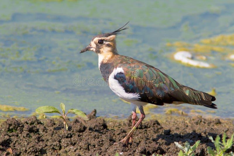 ювенильный vanellus lapwing стоковое фото