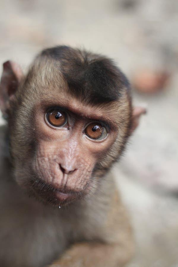 Ювенильная обезьяна с вытаращиться в больших глазах стоковая фотография