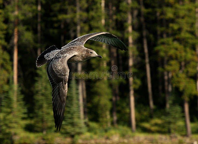 Ювенильная чайка стоковое изображение