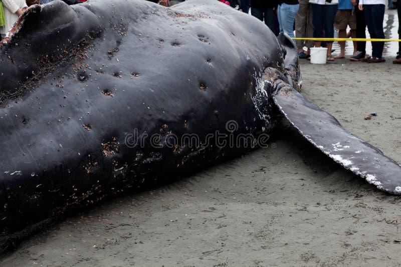 Ювенильные мыть кита Humpback ashore и умерто стоковые фото