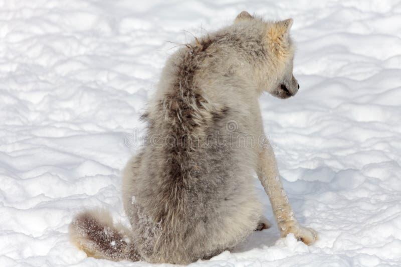 Ювенильный ледовитый волк стоковое изображение