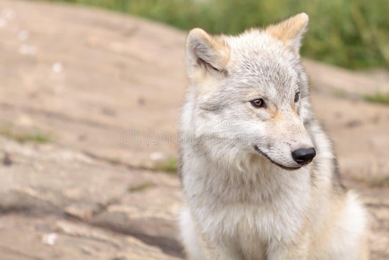 Ювенильный ледовитый волк стоковое изображение rf
