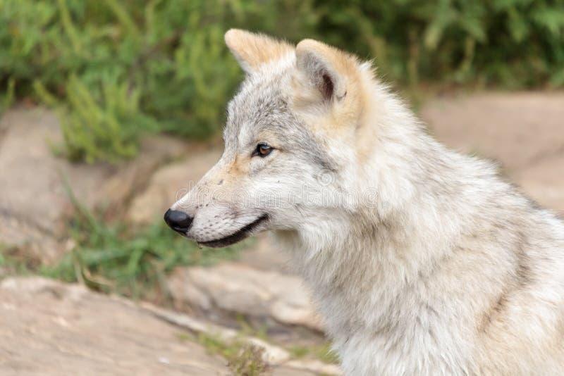 Ювенильный ледовитый волк стоковое фото