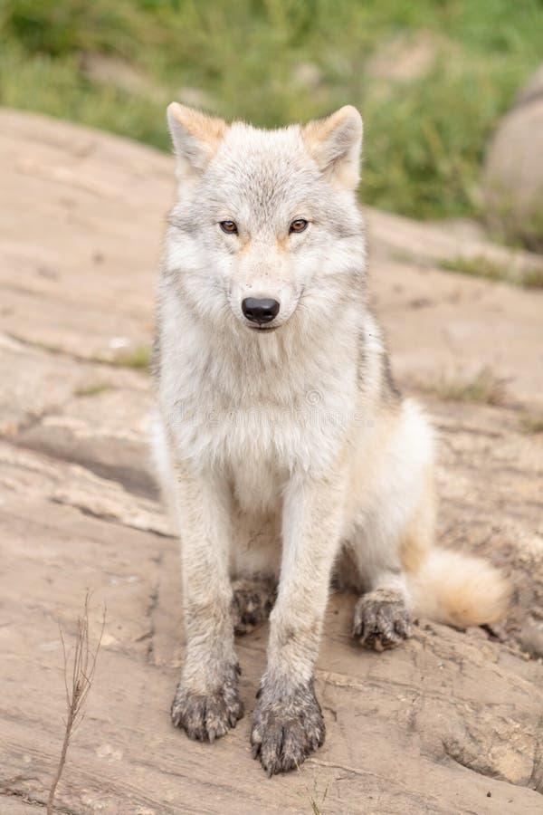 Ювенильный ледовитый волк стоковые фото