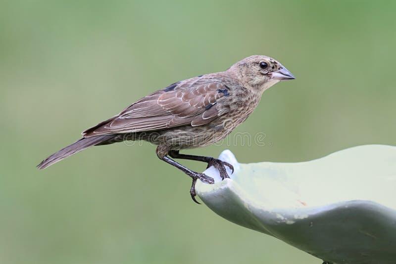Ювенильный мужской Брайн-головый Cowbird стоковое фото rf