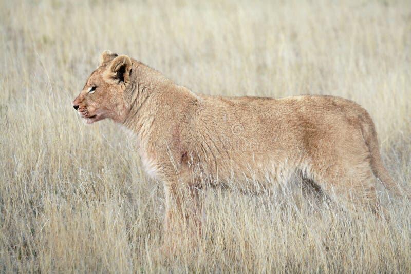 Ювенильный мужской лев стоковые фотографии rf