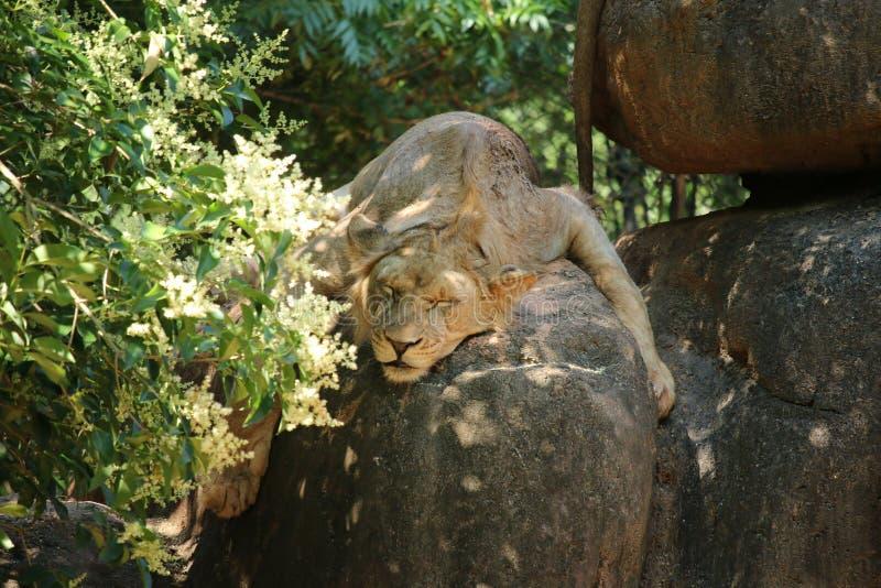 Ювенильный мужской лев стоковое фото