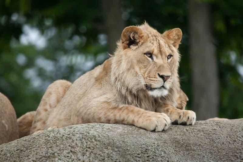 Ювенильный мужской лев & x28; Leo& x29 пантеры; стоковые фотографии rf