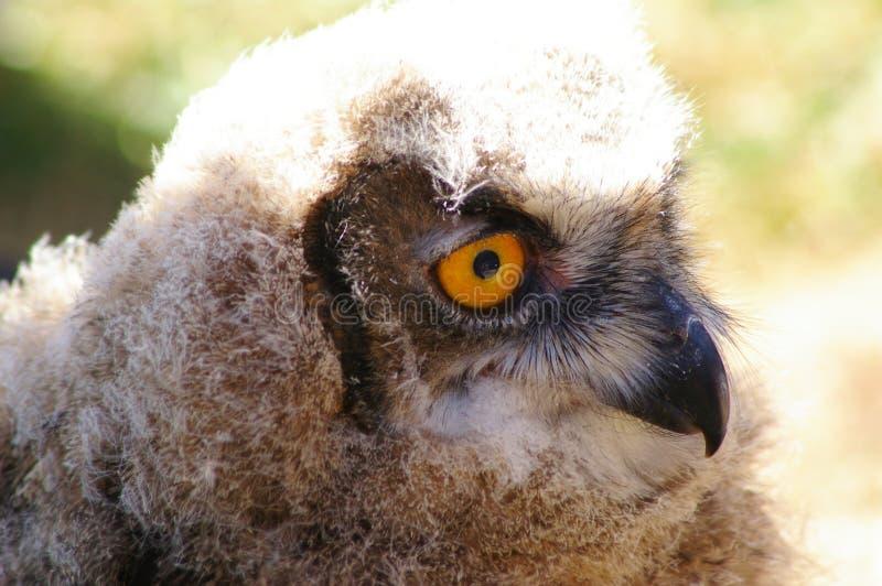 Ювенильный сыч орла в профиле стоковые изображения