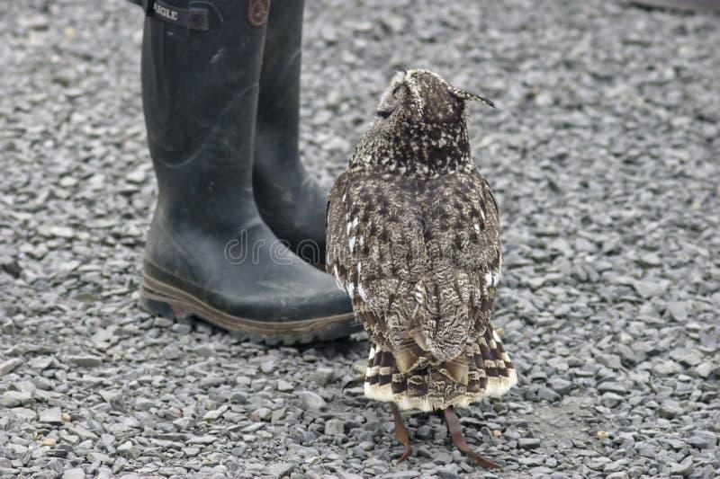 Ювенильный сыч орла ища еда стоковое фото