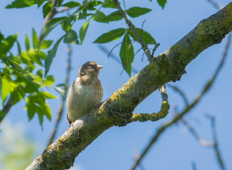 Ювенильный Goldfinch на ветви стоковые фотографии rf