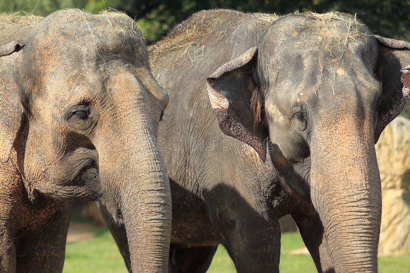Юговосточный азиатский слон стоковое фото rf