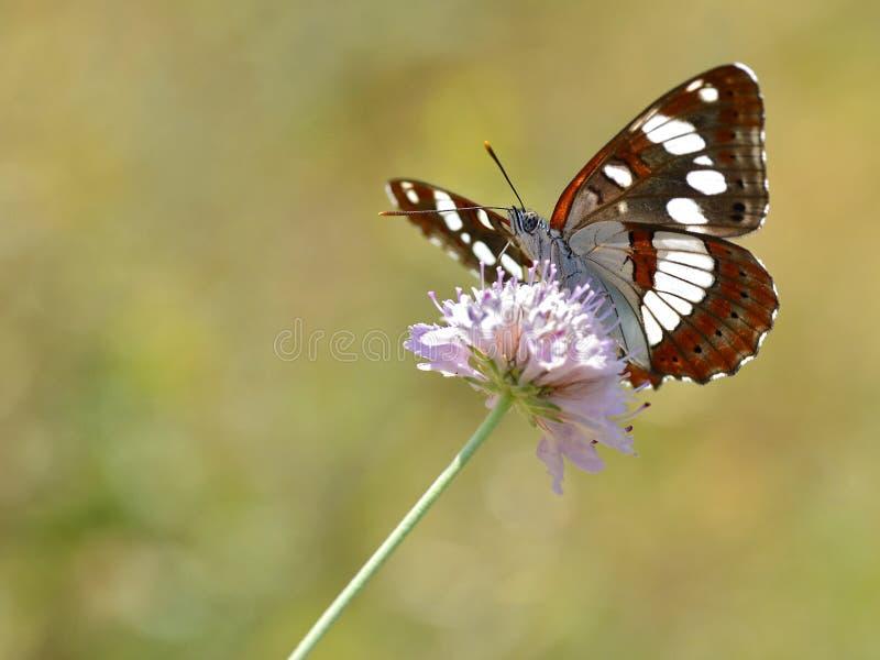 Южная бабочка белого адмирала на цветке стоковое фото