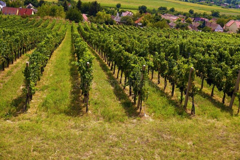 Южная Европа гребет виноградник лоз стоковое фото