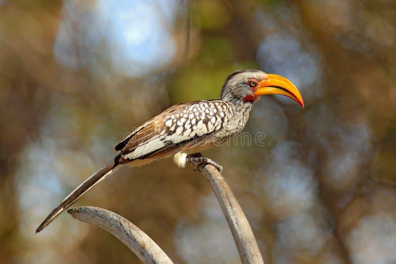 Южная Желт-представленная счет птица-носорог, leucomelas Tockus, птица с большим счетом в среду обитания природы с солнцем вечера стоковые изображения