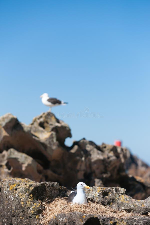 Южная поддерживаемая черно чайка стоковая фотография