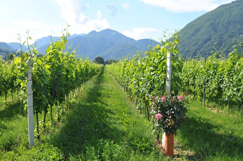 Южная Швейцария: Дворы вина в перепаде реки Maggia около Asc стоковая фотография