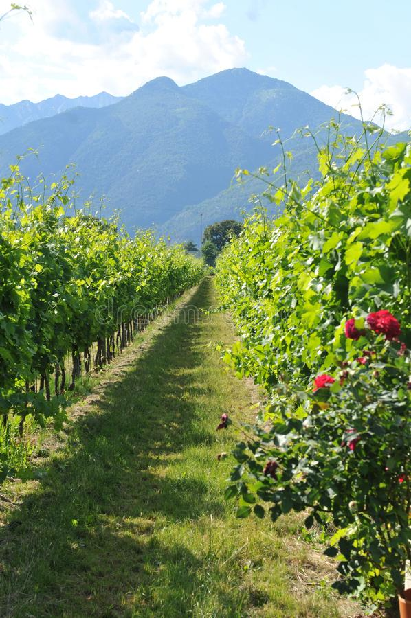 Южная Швейцария: Обрабатывать землю в перепаде реки Maggia около Ascona стоковое фото
