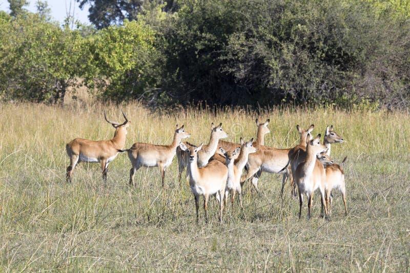 Южное lechwe, leche Kobus, национальный парк Moremi, Ботсвана стоковое фото rf