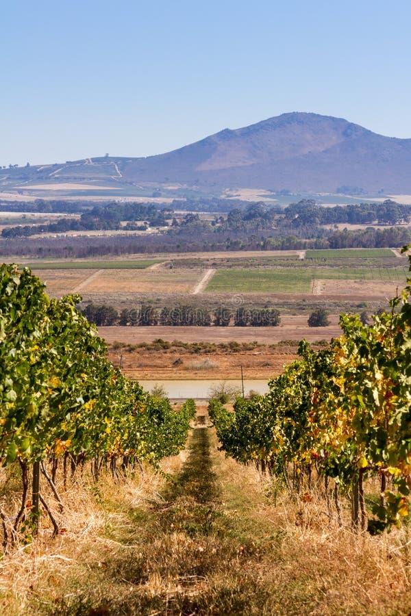 Южно - африканский виноградник стоковые изображения rf