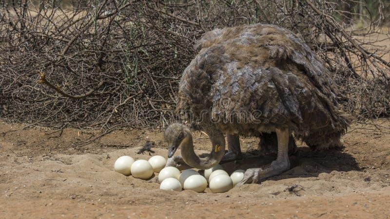 Южно-африканский конец-вверх страуса стоковая фотография