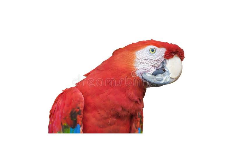 Южный - американский красочный изолированный попугай стоковая фотография rf